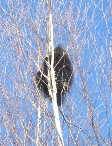 Porcupine in the blue sky
