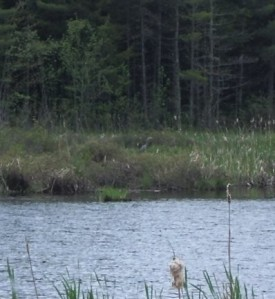 Herons in the UNB Woodlot, June 1, 2008